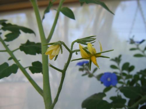 Tomato Blooms