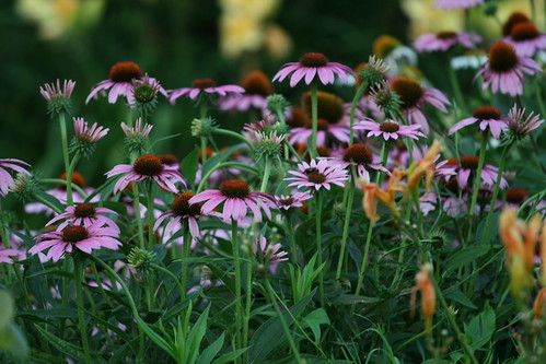 purple cone flowers