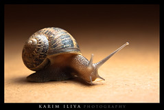 Night 23- Portrait of a Snail (Karim Iliya Photography) Tags: sea sky cloud mountain eye wet up ball bug hawaii sand country shell snail ground maui trail slime goo sal kula