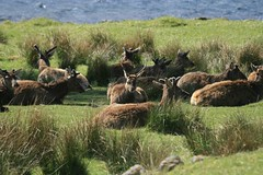 Red Deer (pete_thedoctor_smith) Tags: scotland highlands reddeer cervuselaphus locharkaig may09