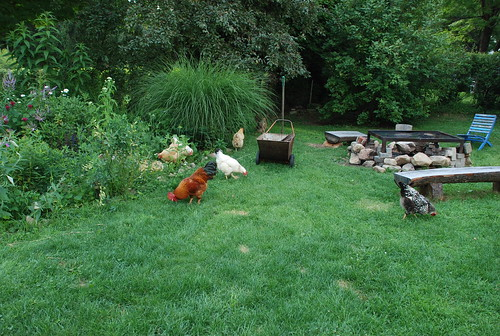 happy chickens roaming the yard