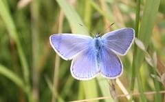 Chapman's blue (X'ian) Tags: flowers fleurs belgium belgique butterflies belgi blumen lepidoptera westvlaanderen mariposa distillery bloemen farfalla schmetterlinge schmetterling vlinder belgien papillons kelebek farfalle chalkhillblue lpidoptres flandreoccidentale