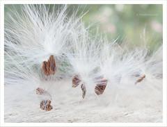 Soft (VillaRhapsody) Tags: turkey garden soft fluffy seeds acg orbea bigmomma kayaköy orbeavariegata challengeyouwinner villarhapsody toadcactus