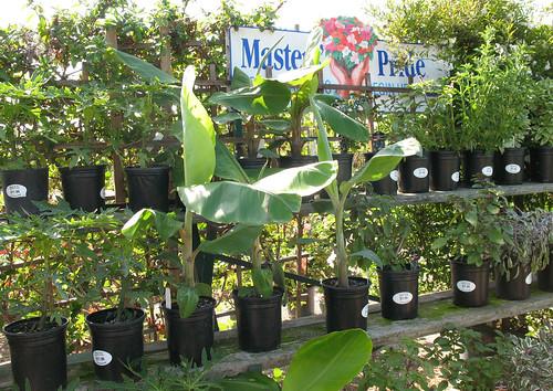 small banana tree plants