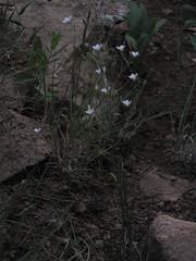 Fendler's sandwort (CAJC: in the Rockies) Tags: white 5petals wfgna alsinaceae eremogone fendlerssandwort eremogonefendleri goldengatestateparkco