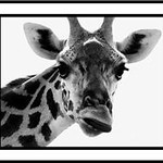 Facial espressions of a Giraffe - Put together for me by Paul Mezzer