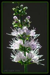 Mentha spicata (PheCrew) Tags: flower macro photoshop makro fiore romana lightroom menta phe mentha spicata soken