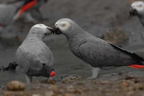 Grey Parrots --- vulnerable!