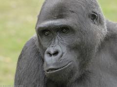Lowland Gorilla 'Jaja' (gentle lemur) Tags: silverback lowlandgorilla portlympnewildanimalpark gggorilla