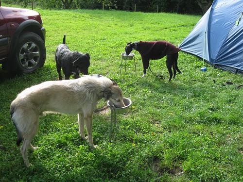 Lurchers do camping breakfast