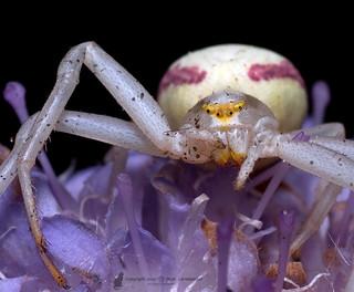 Goldenrod crab spider (Misumena vatia) Blomkrabbspindel