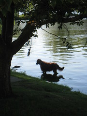 Wading (historygradguy (jobhunting)) Tags: dog reflection tree water animal boston river ma massachusetts charlesriver newengland canine mass bostonist