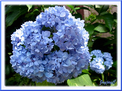 Hydrangea macrophylla 'Endless Summer' in fabulous blue