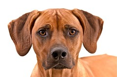 Daentje (edwindejongh) Tags: pictures dog chien pets look expression posing hond sharp hund curious frown rhodesianridgeback blik scherp animalphotography nieuwsgierig dogportrait frons dogonwhite edwindejongh catvertise sabinevanderhelm vovnjau straightintothelense daentje rifruggie dierenmodellen animalmodellingcappcappdierenfotoscats