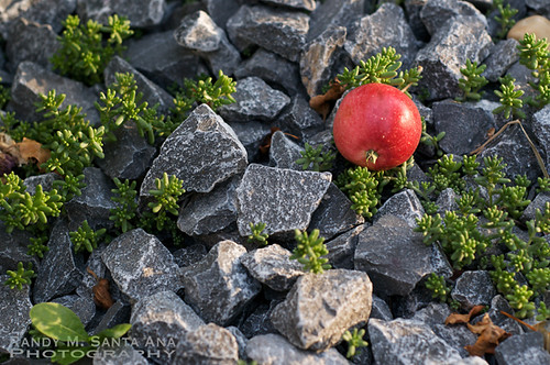 Crabapple on a Gravel Bed