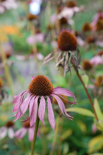 Echinacea purpurea - 2