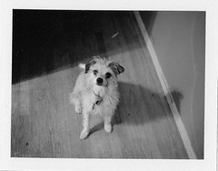 Instant Zippy (Silverscape) Tags: dog film puppy polaroid fuji automatic instant 100 peelapart fp3000b polaroidautomatic100 silverscape