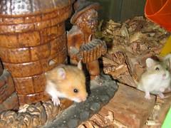 09 10 04 Jaulas y acces 072 (TeTe`) Tags: hamsters jugando juveniles
