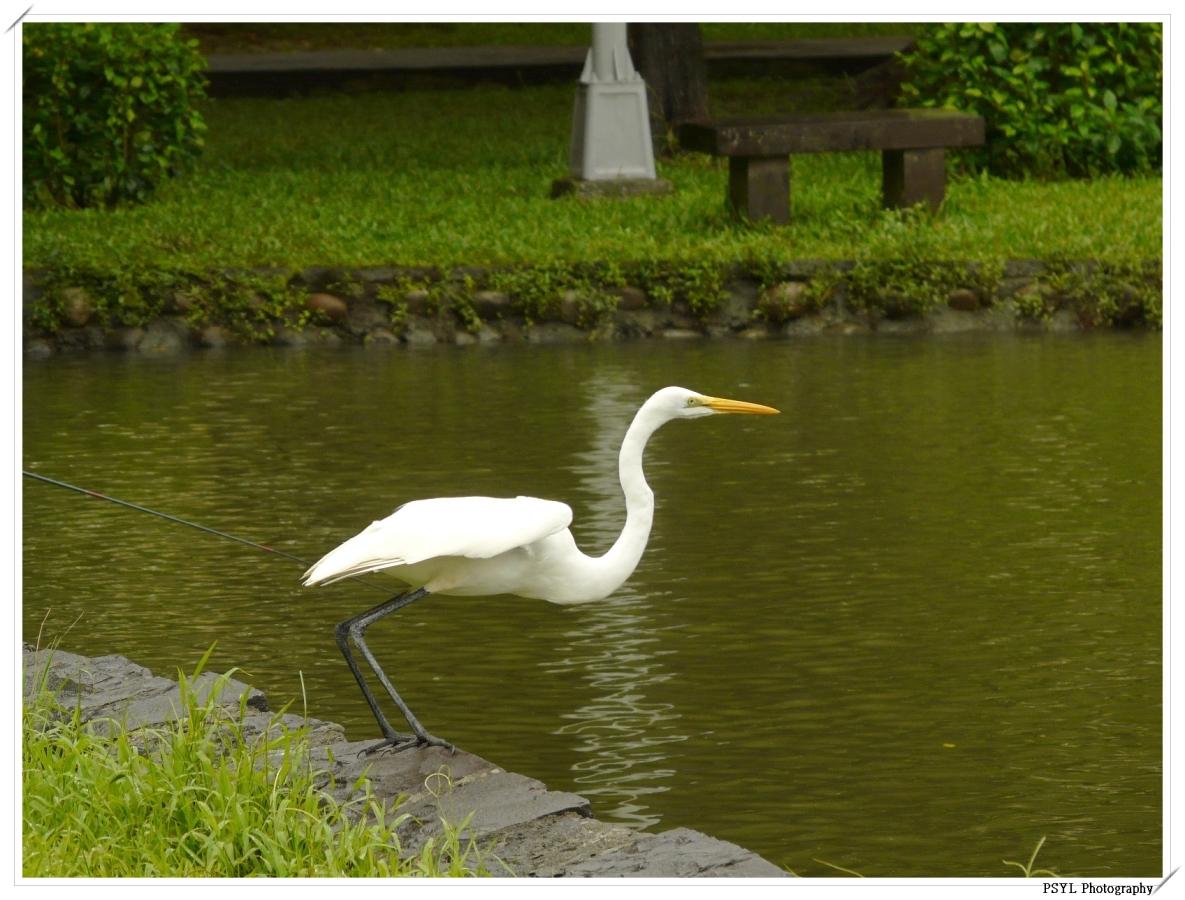 Intermediate Egret (Egretta intermedia) taking off - 中白鷺