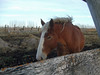 Queen Is Home (Roofer 1) Tags: horse fence belgian workhorse naturesfinest impressedbeauty