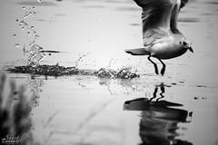 (saeid.goodarzi) Tags: blackandwhite bw bird nature canon iran ایران esfahan اصفهان پرنده طبیعت انعکاس اب شکار سیاهوسفید زایندهرود canonefs55250mmf456is مرغدریایی eos1000d پرندهگرافی