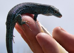 Ibiza wall lizard (mcgin's dad) Tags: lizards formentera balearics sonydsch5 concordians