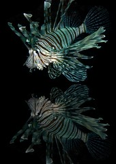 Reflection (InShot Images) Tags: ocean sea fish nature underwater redsea egypt diving scubadiving lionfish marinelife canon50d colorphotoaward mygearandmepremium mygearandmebronze mygearandmesilver mygearandmegold mygearandmeplatinum