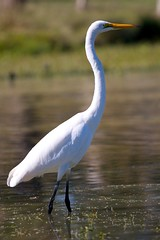 Egret on the lookout (Denis Hawkins) Tags: bird water waterbird canberra egret intermediateegret avianexcellence yarrabi denishawkins