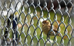 Sitting On The Fence (St-Even) Tags: toronto bird nature fence sparrow perch