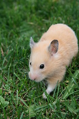 Squiggles outside (Ninithedreamer) Tags: pet silly love girl animal female naughty golden rodent crazy friend soft fuzzy nini special hamster devil sweetheart companion loved syrian squiggles aday nehama ninithedreamer