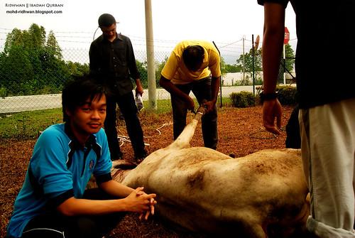Saya dan Lembu