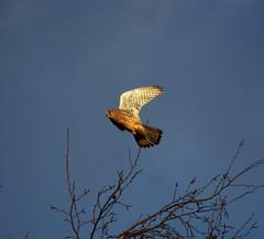 Kestrel - RSPB Fairburn Ings (Chris McLoughlin) Tags: uk wild england bird nature closeup wildlife sony yorkshire tamron kestrel westyorkshire a300 rspb fairburnings 70mm300mm fairburningsrspbreserve sonya300 tamron70mm300mm sonyalpha300 alpha300 chrismcloughlin
