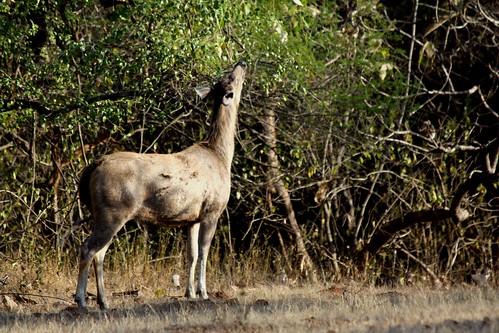 Low 2009-11-29 Sasan Gir - 01 Safari 07 Sambhar