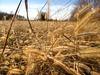 campo d'erba dorata