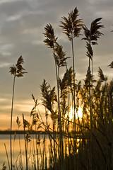 Grass at Sunrise (veros222) Tags: sun lake water grass yellow sunrise gold golden stalks goldenlight cy2 challengeyou challengeyouwinner karmapotd karmapotw thechallengegame challengegamewinner friendlychallenges thechallengefactory fotocompetition fotocompetitionbronze fotocompetitionsilver fotocompetitiongold thegamewinner thegamex2winner thegamex3winner
