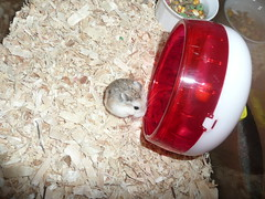 December 09 004 (supernaturalfan90) Tags: dwarf hamsters robo