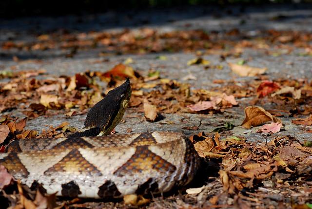 百步蛇2009-29