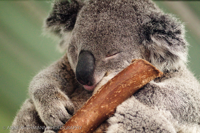 Sleepy Koala Face