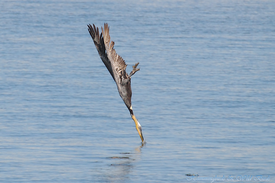 Brown-Pelican-041121