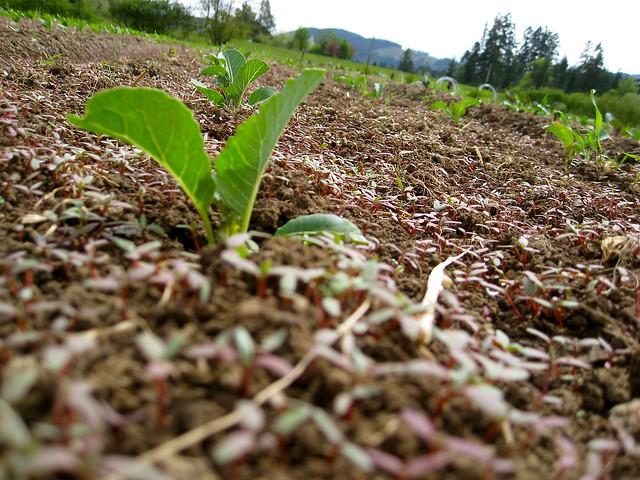 Pigweed Choking Veggies 02