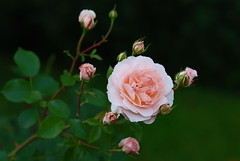 central beauty (Matevz Umbreht) Tags: pink red roses summer plant blur flower green nature floral beautiful beauty grass rose yellow garden bokeh vrt background roza vrtnica schlosseutin ozadje rumeno rastline rdee grmasta