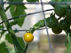2nd tomato