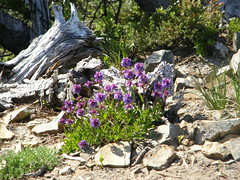 Flowers at Crystal Peak true summit.
