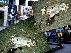Plague Of Rats Strikes Toronto Blamed On City ...