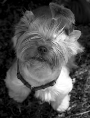 Man, how come you are so tall? (Pigon (Piotr Golebiowski)) Tags: show portrait blackandwhite dog dogs face international warsaw yorkshireterrier thelittledoglaughed img4217 caicb