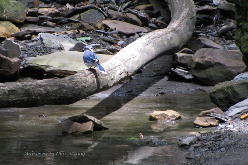 blue jay on a log over a creek - photo by Adrienne Zwart