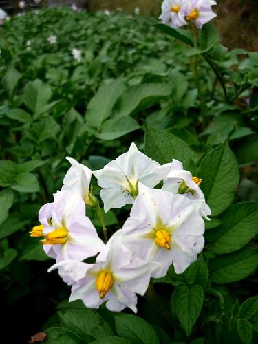 fiori di pisello