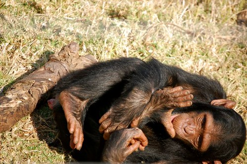 chimp laying