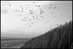 Seagulls at beach (Meus McIntoshi) Tags: leica film beach 50mm f14 m mp summilux ilford fp4 segulls