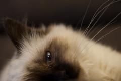 DSC_9993 (djc75) Tags: pictures cats cat photography photo nikon kitten photos kittens birman djc douglascowley djc75 dcowley